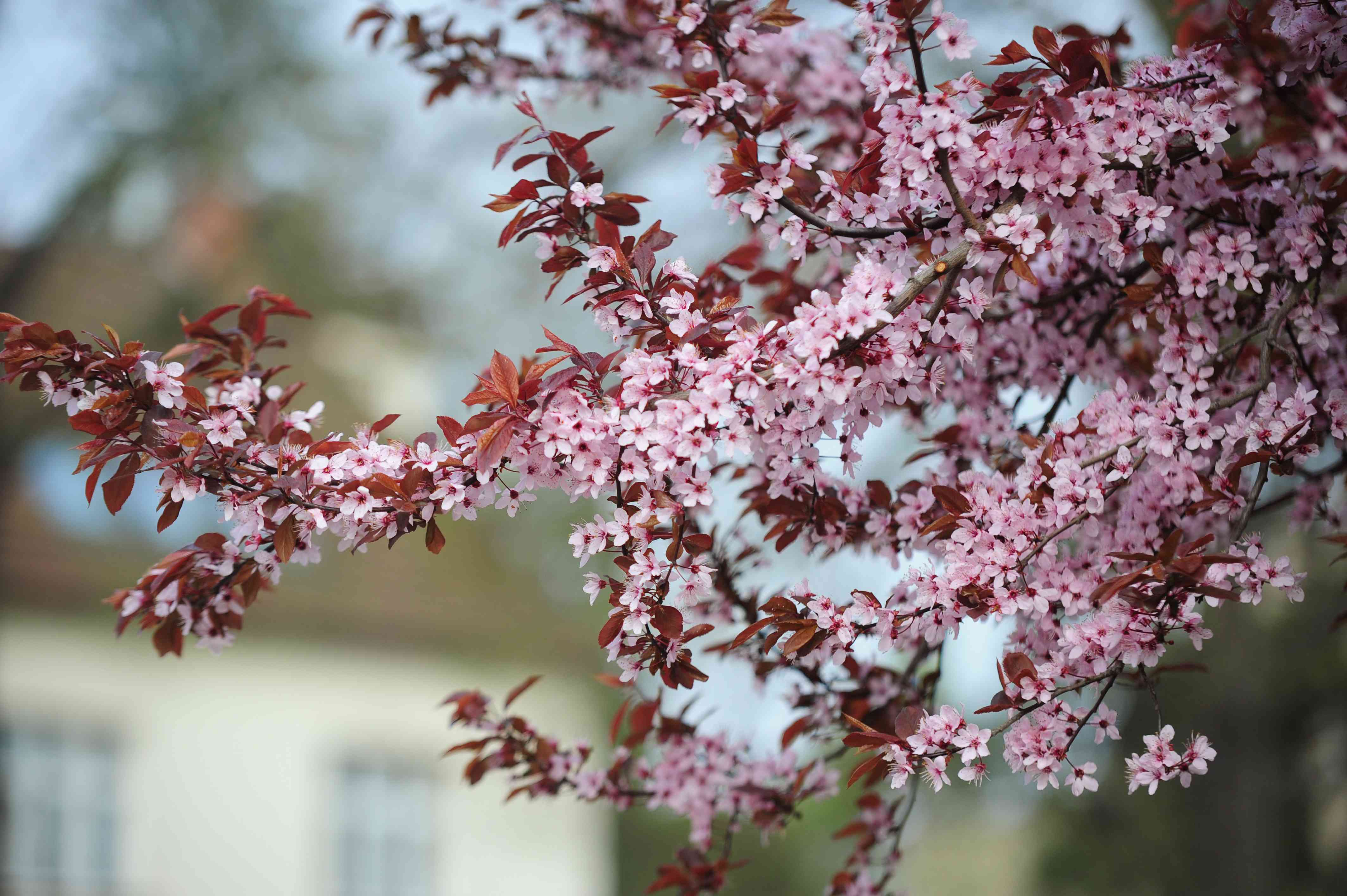 Purple leaf sand cherry tree branch with small pink flowers and brown leaves