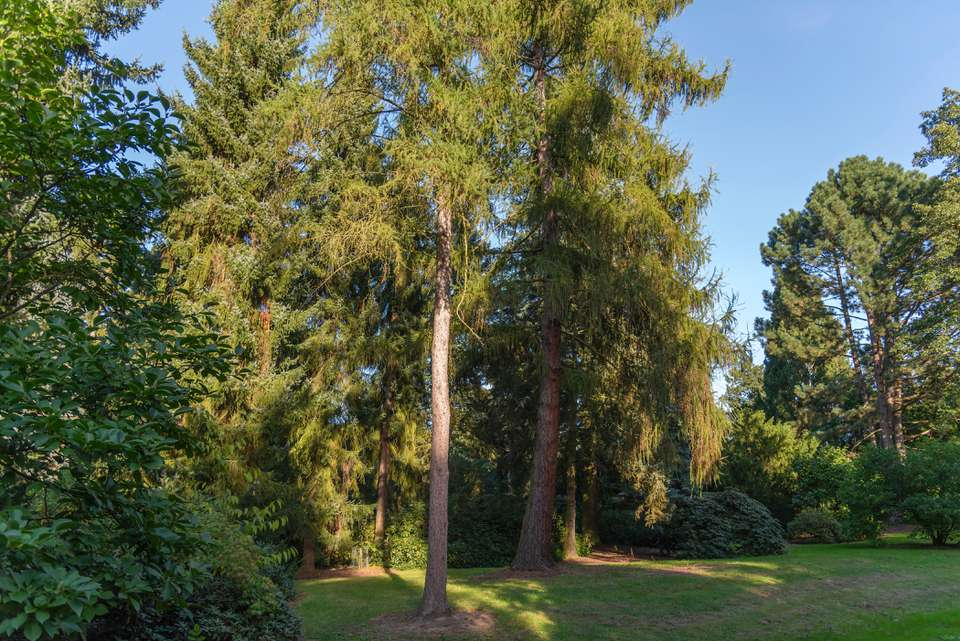 Tamarack tree with tall thin trunk with dense foliage on branches in middle of wooded area