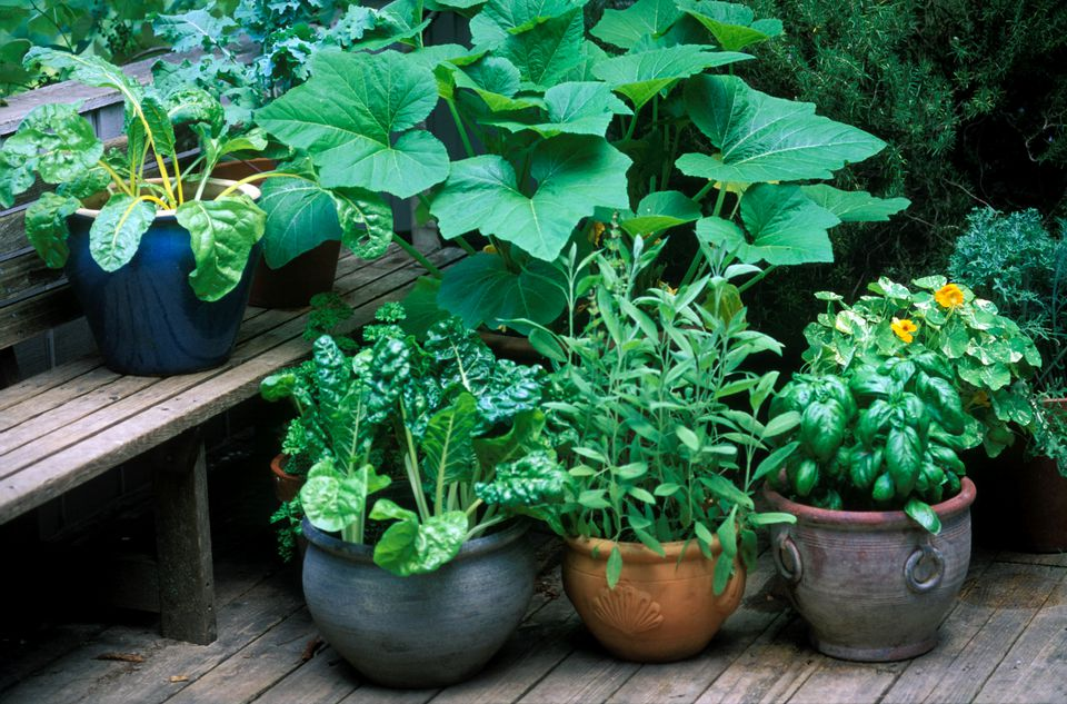 vegetables and herbs growing in terrcota pots on wooden decking with wooden deck seat. (basil, chard, parsley, sage), summer.