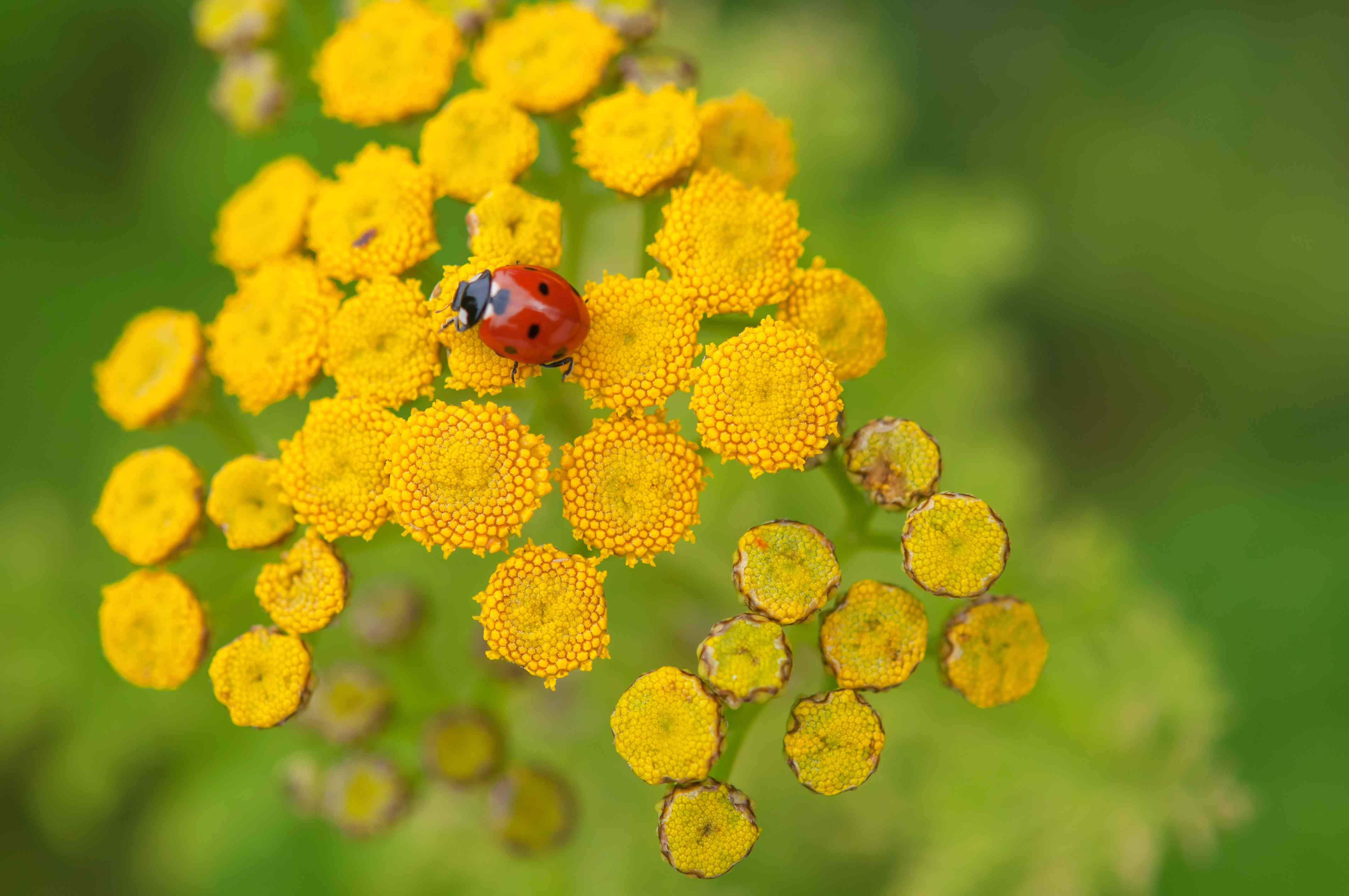Common tansy plant with yellow button-like flowers and buds with ladybug closeup