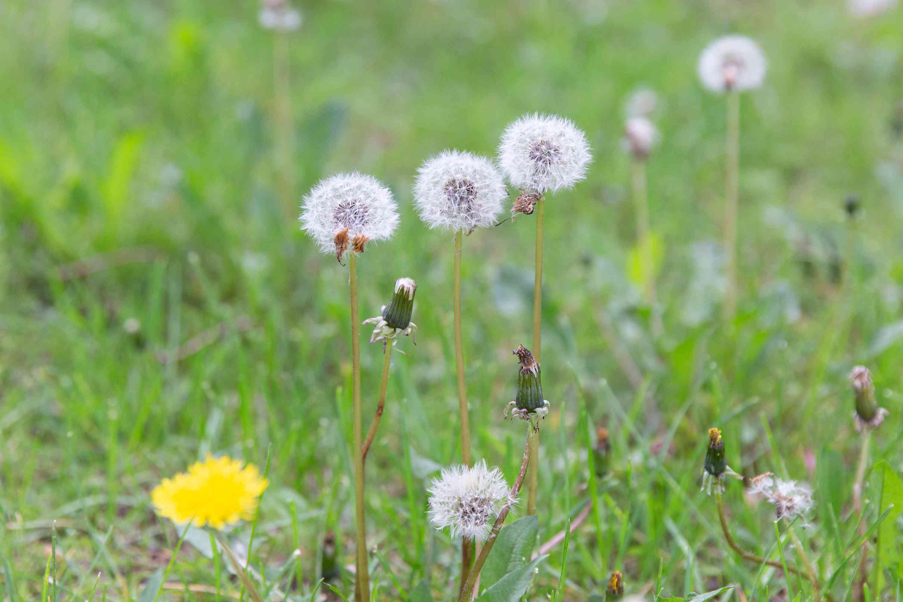 Dandelion weed with small white seedheads surrounding top of stems in grass