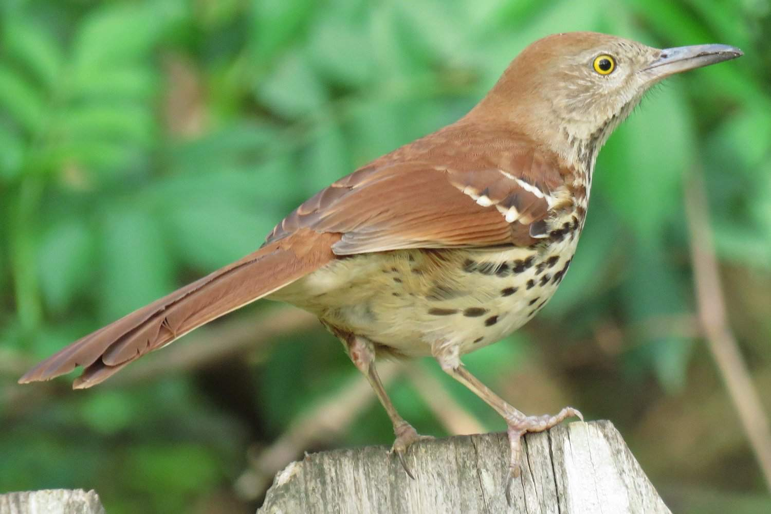 Brown Thrasher, el ave estatal de Georgia, de pie sobre una cerca de madera