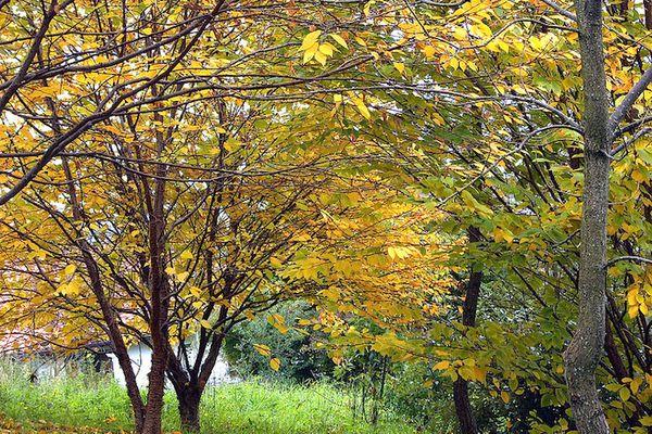 Golden leaved birch trees in a meadow near a woodland