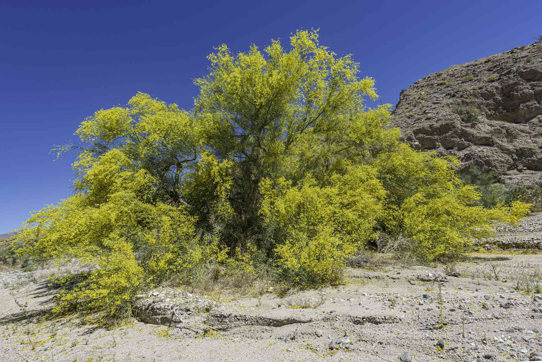Blue palo verde (Parkinsonia florida) growing in a desert setting