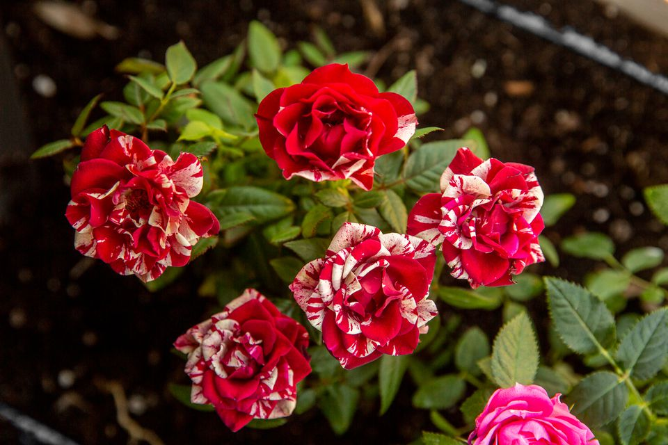 Miniature kordana rose bush with red flowers and white tips