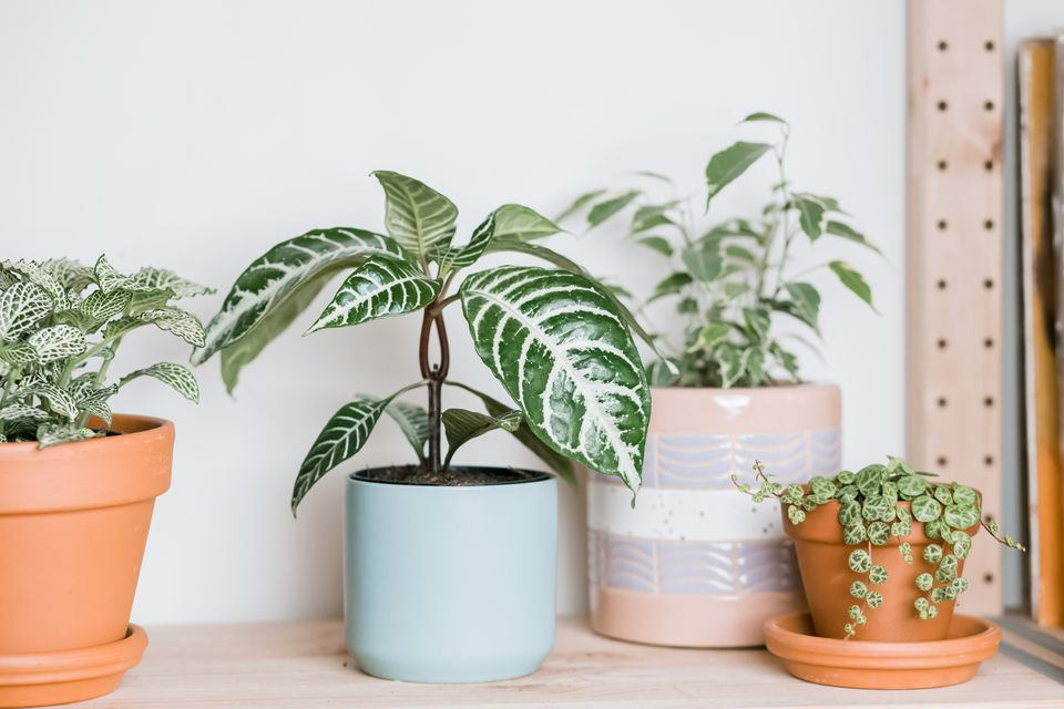 zebra plant surrounded by other houseplants