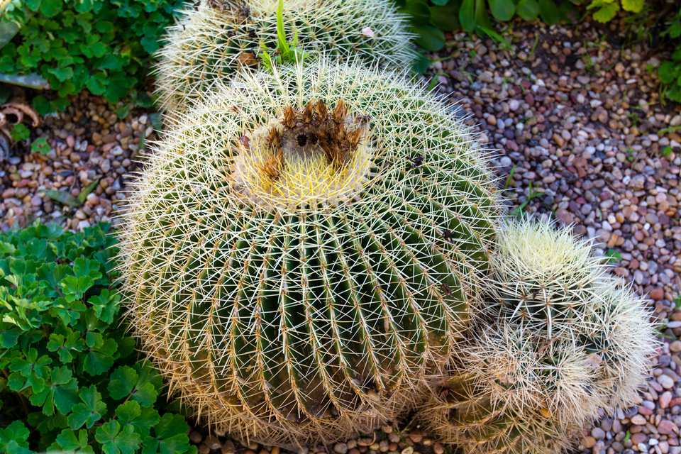 Ball cactus in a garden