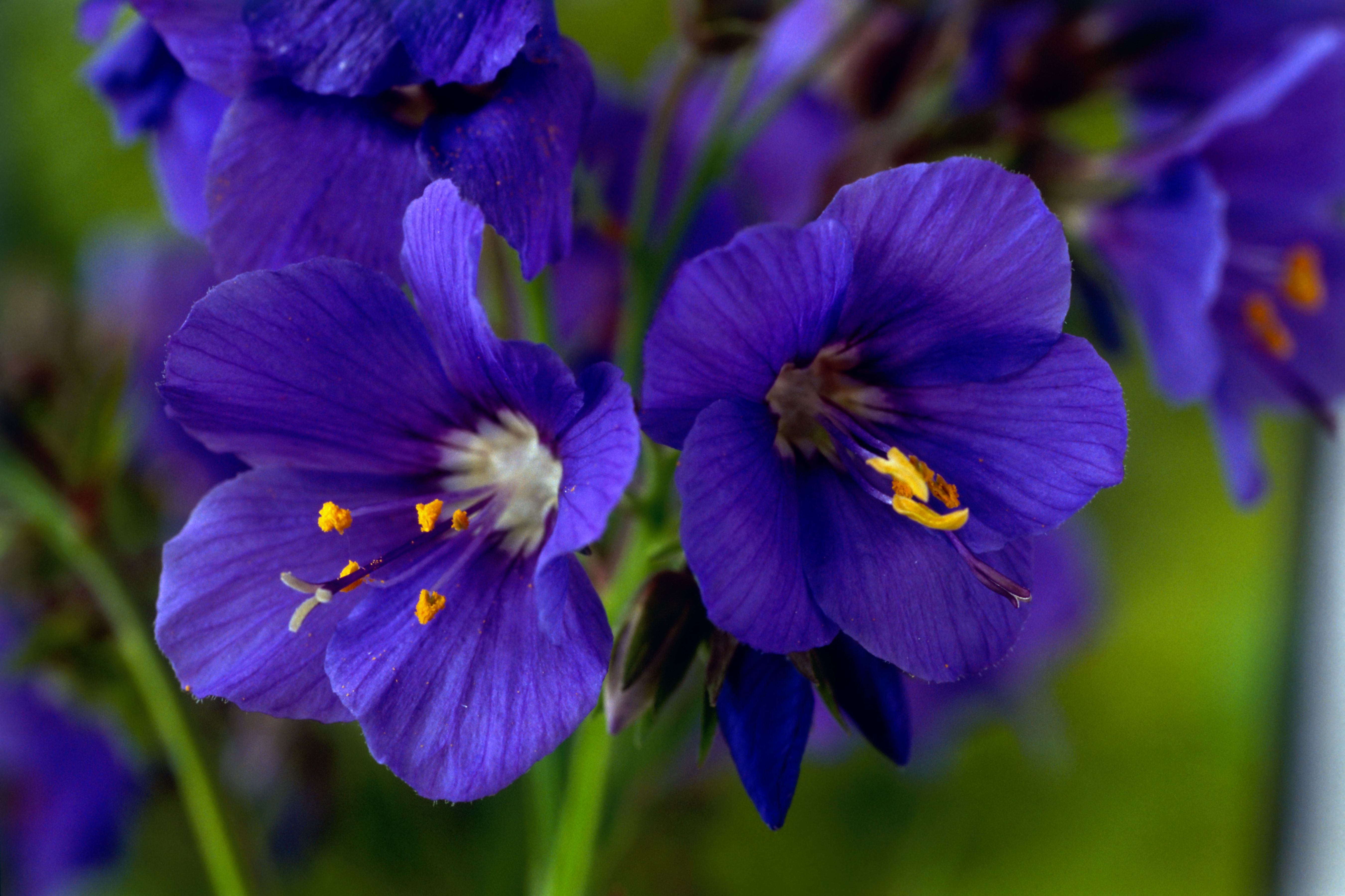 Growing And Caring For Jacobs Ladder Polemonium