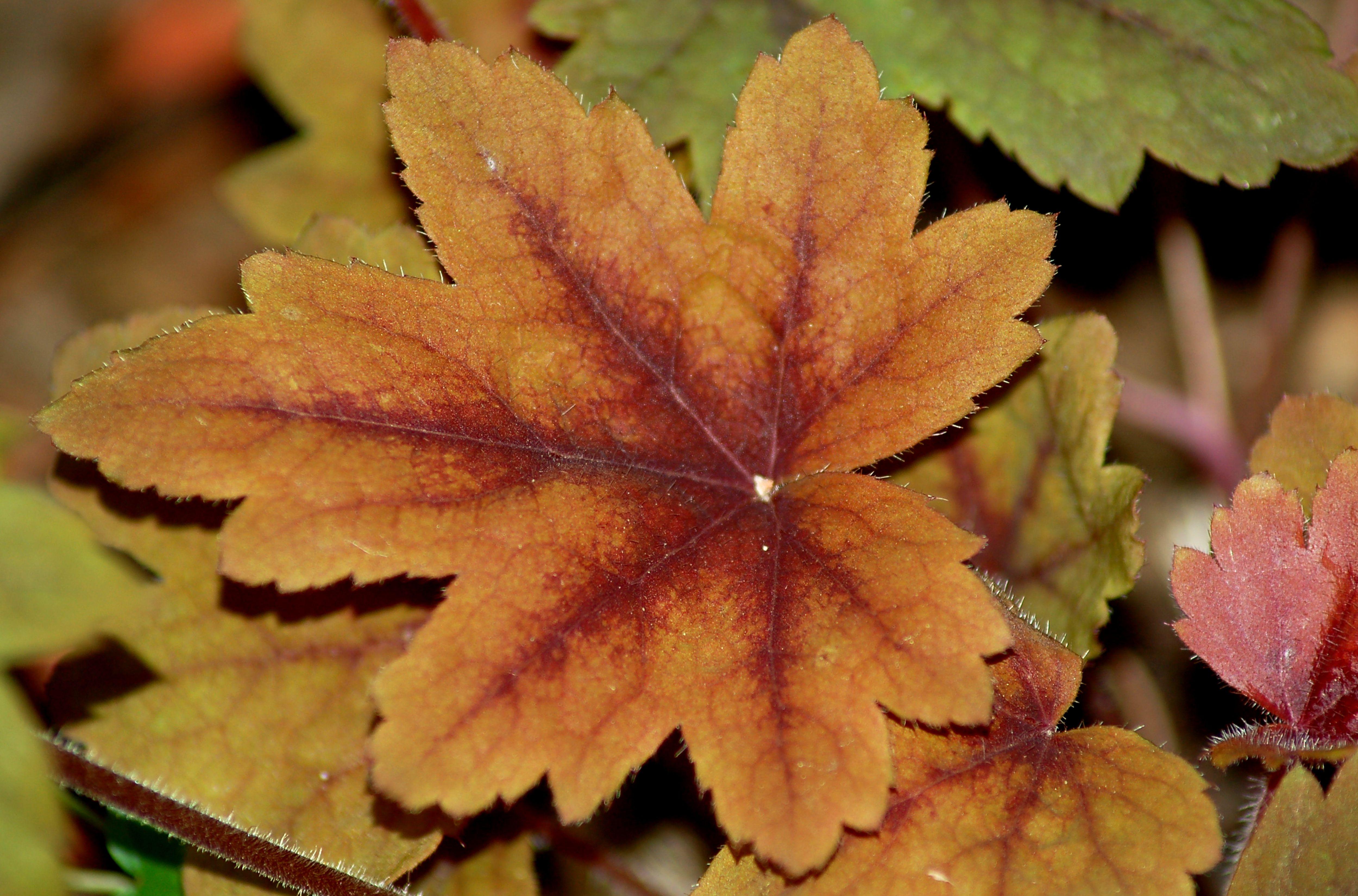 Variegated leaf of Heucherella Sweet Tea.