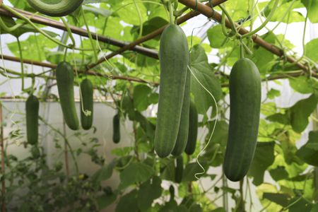 Growing Cucumbers In Container Gardens