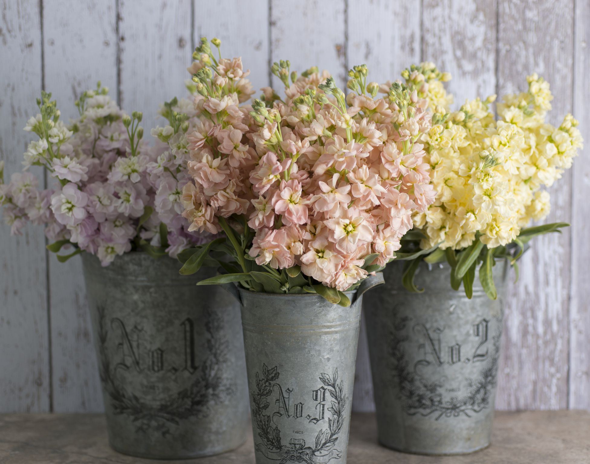 Evening Scented Stock