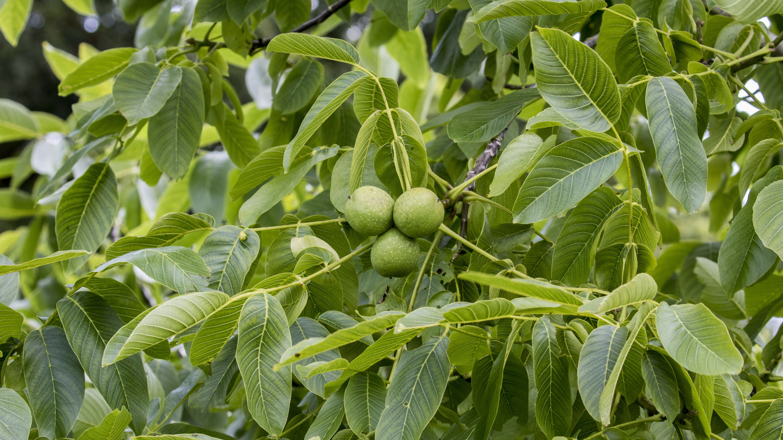 Black Walnut Trees: Toxic to Other Plants