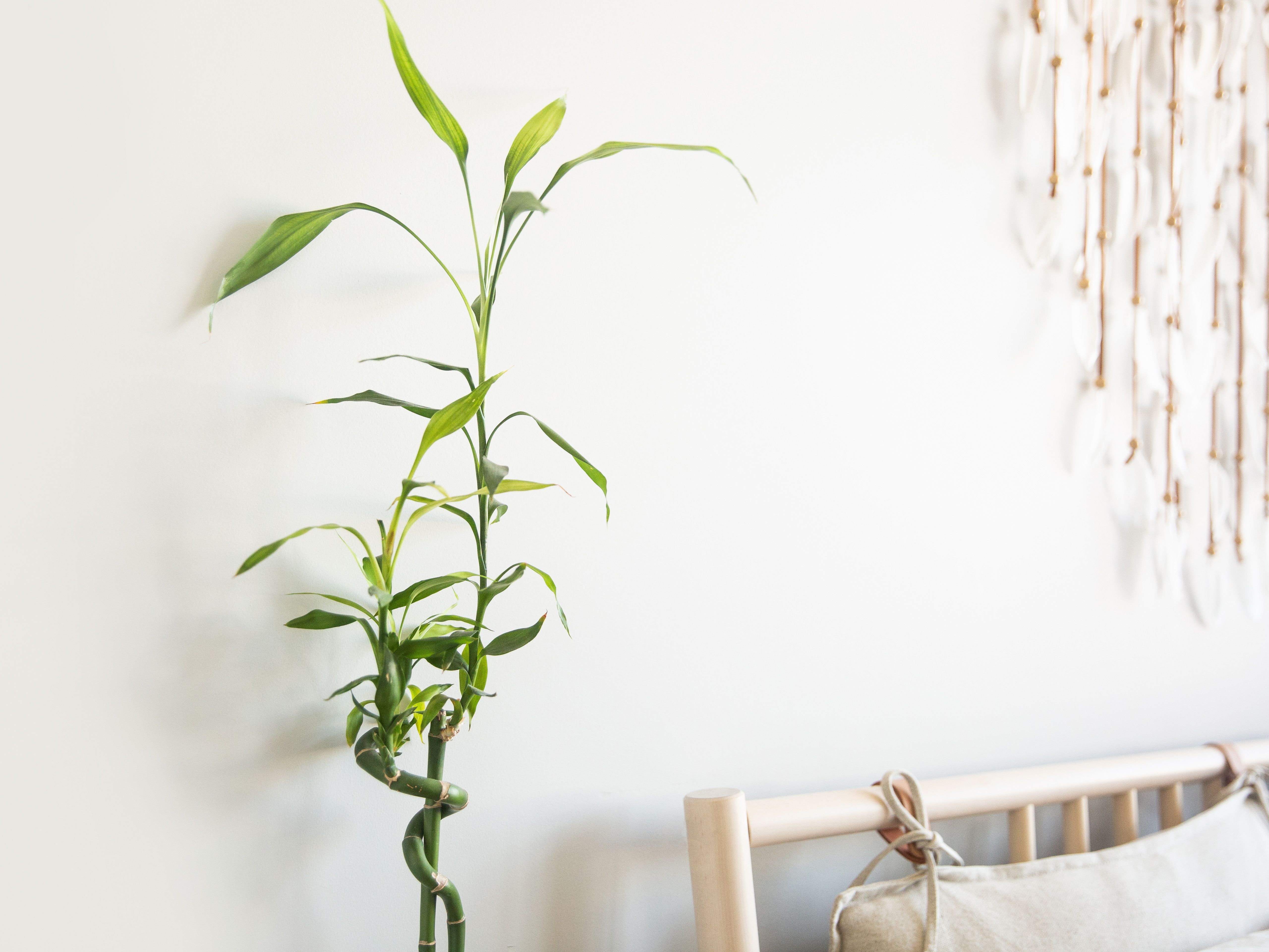 Bamboo Indoor Plant Care Growing Guide