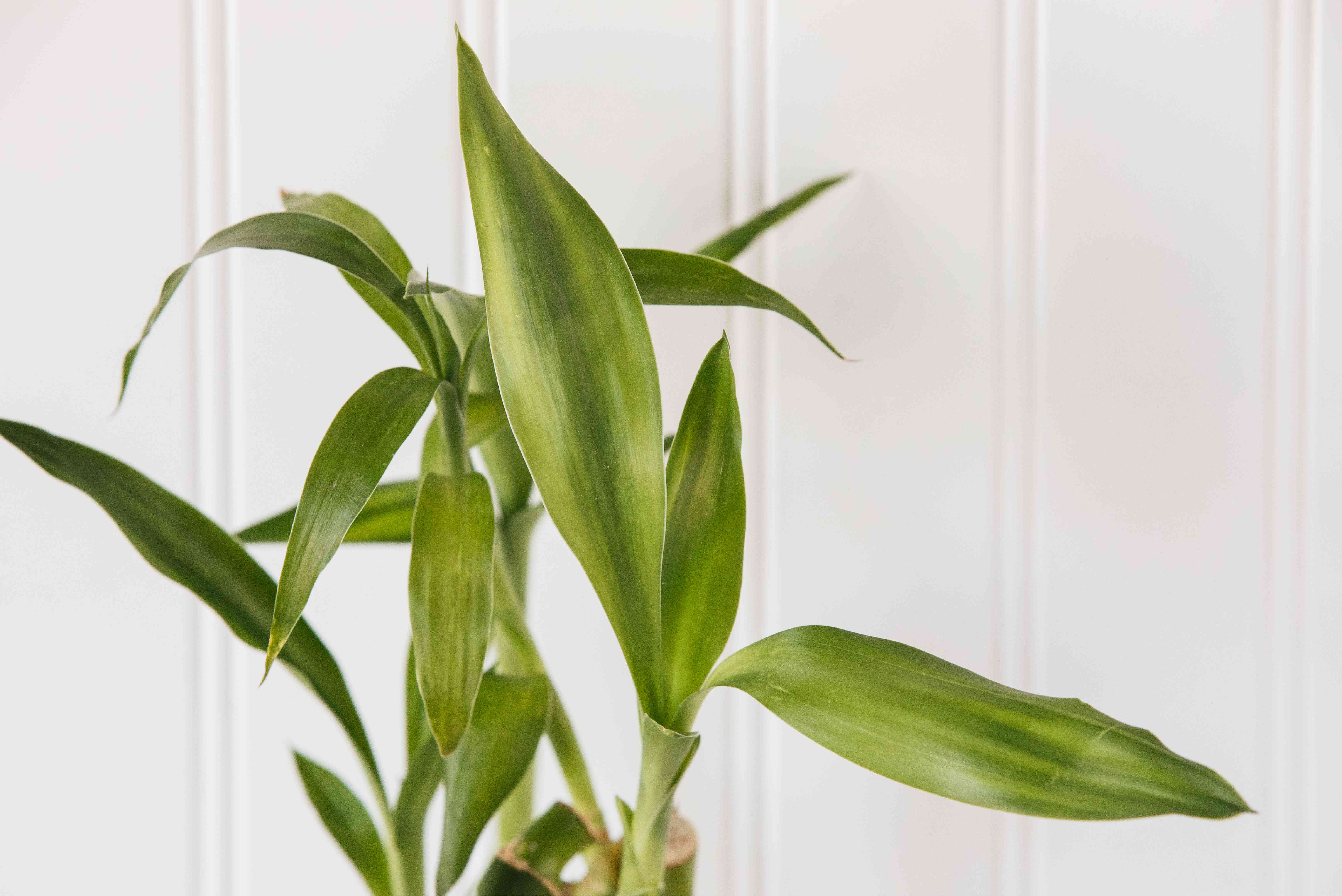 closeup of lucky bamboo leaves