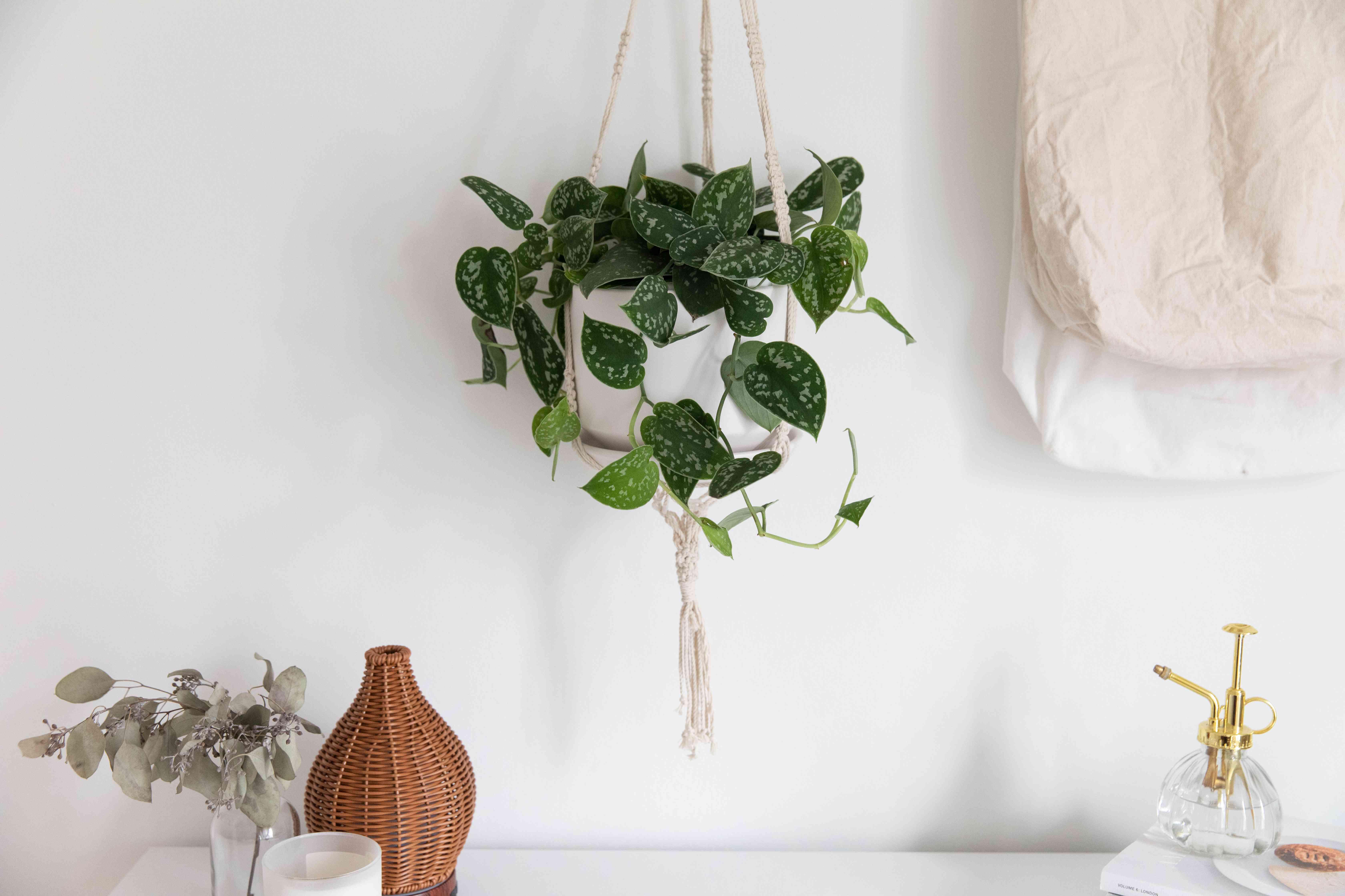Satin pothos in white hanging planter over white desk