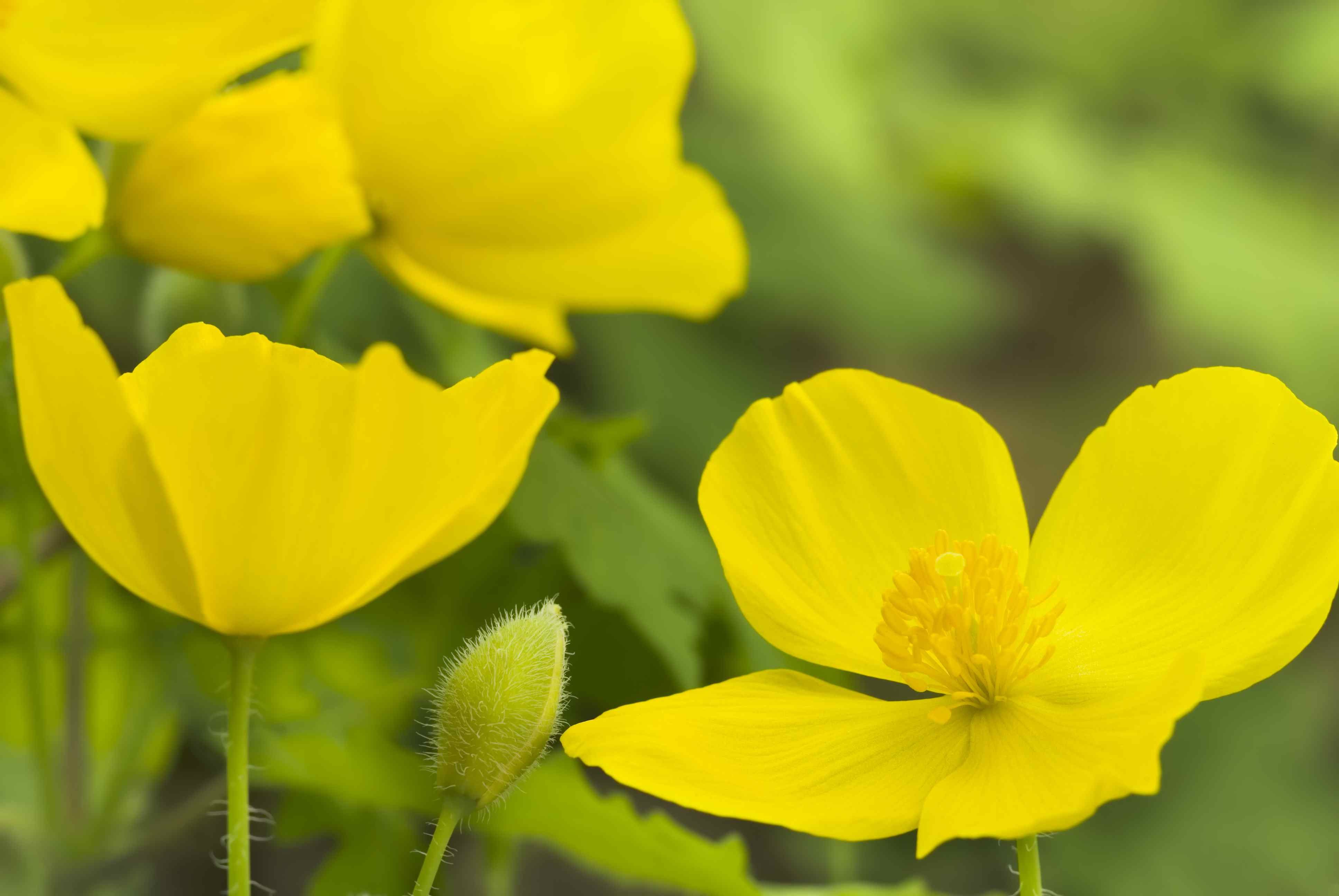 Celandine Poppy (Stylophorum diphyllum) - IV