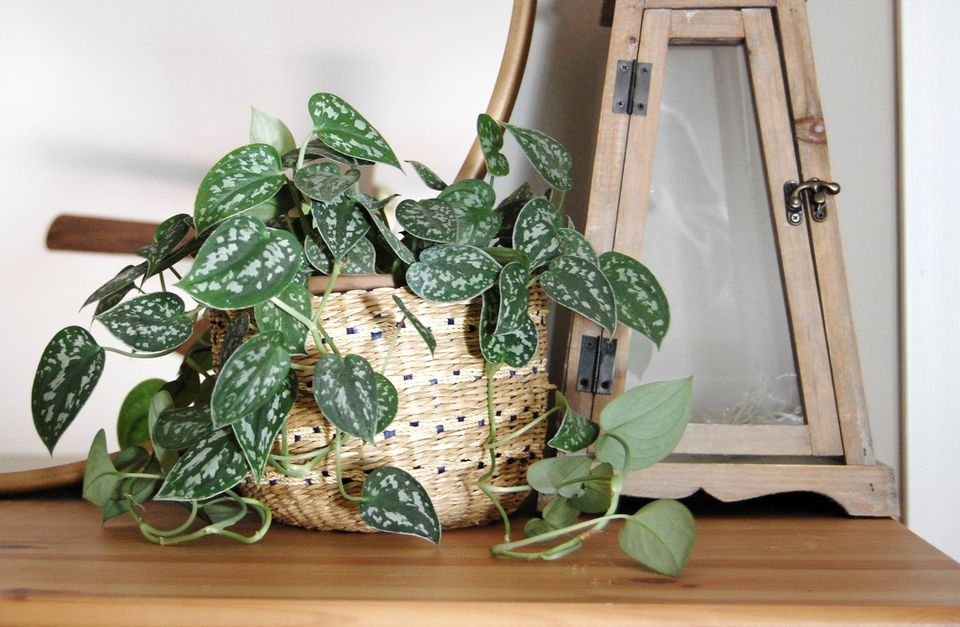A satin philodendron sits on a dresser in front of a mirror.