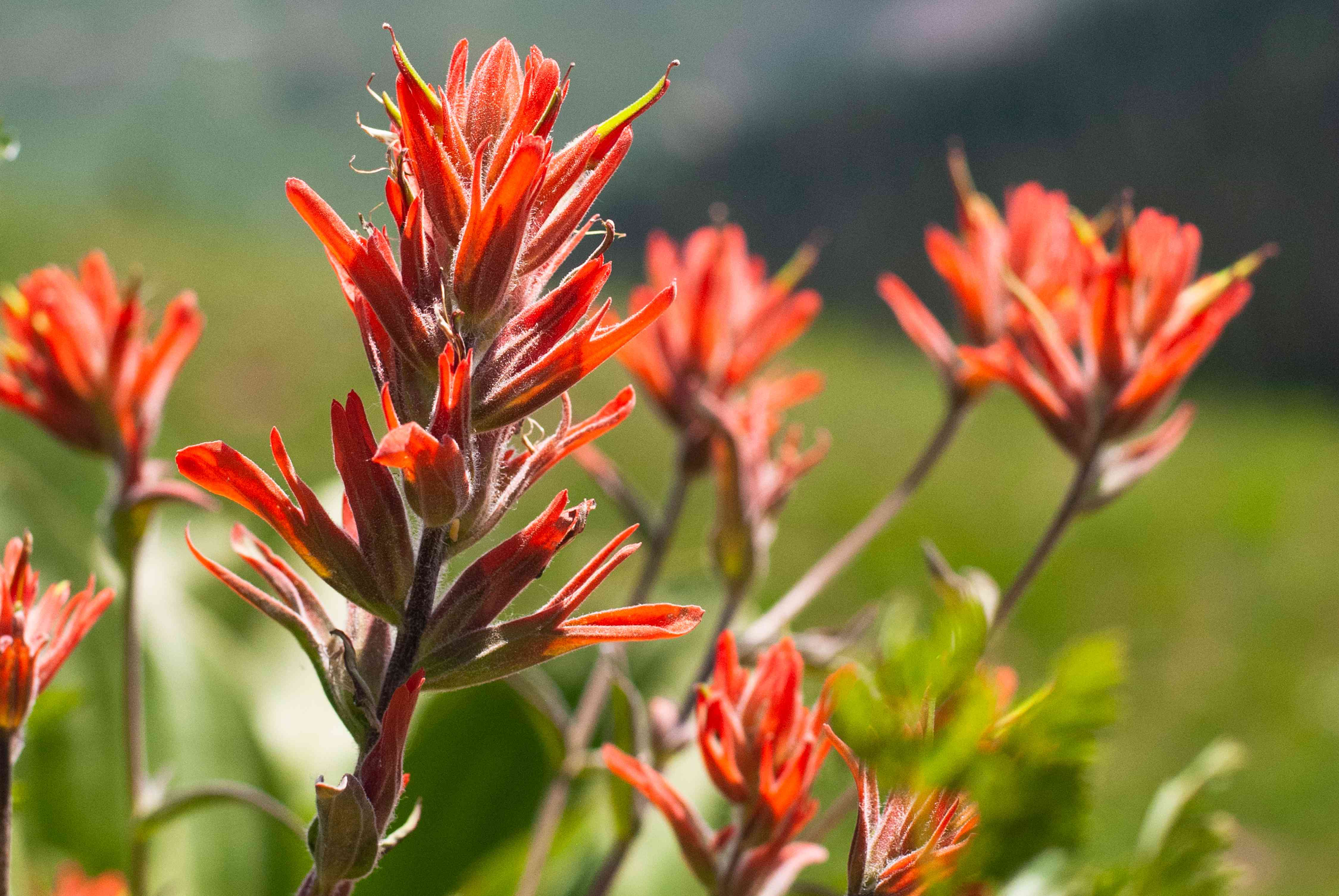 Scarlet painted cup plants with red-orange bracts growing in sunlight
