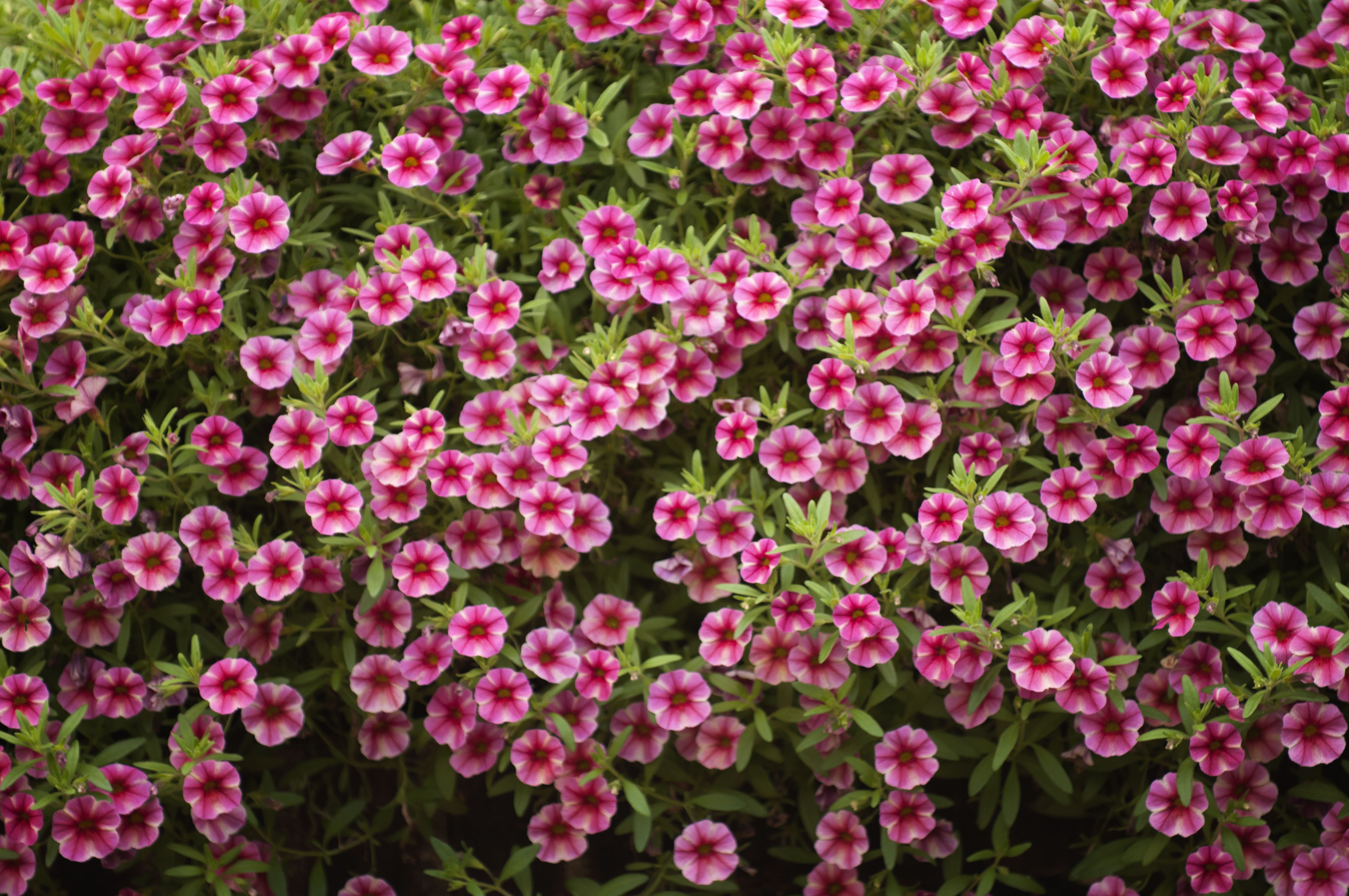 How to choose the right petunia calibrachoa million bells superbells mightylinksfo