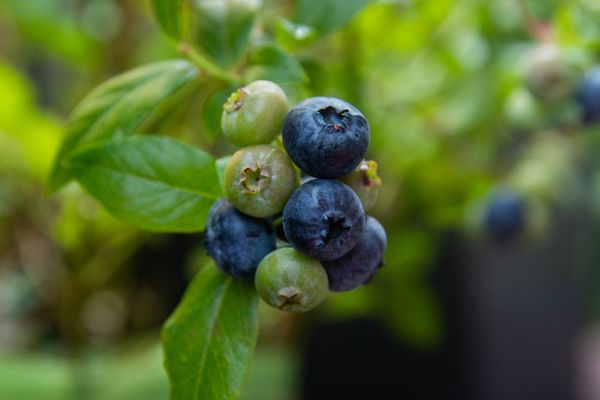 Organic blueberry bush branch with blue and green blueberries closeup