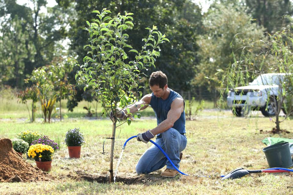 Man watering a newly planted tree