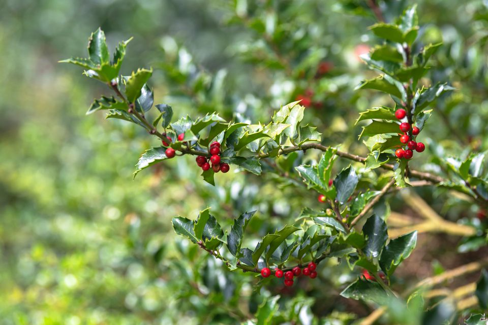 Blue princess holly shrub branch with glossy green and sharp-edged leaves with red berries hanging