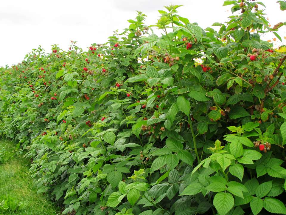 Raspberry bushes with fruit