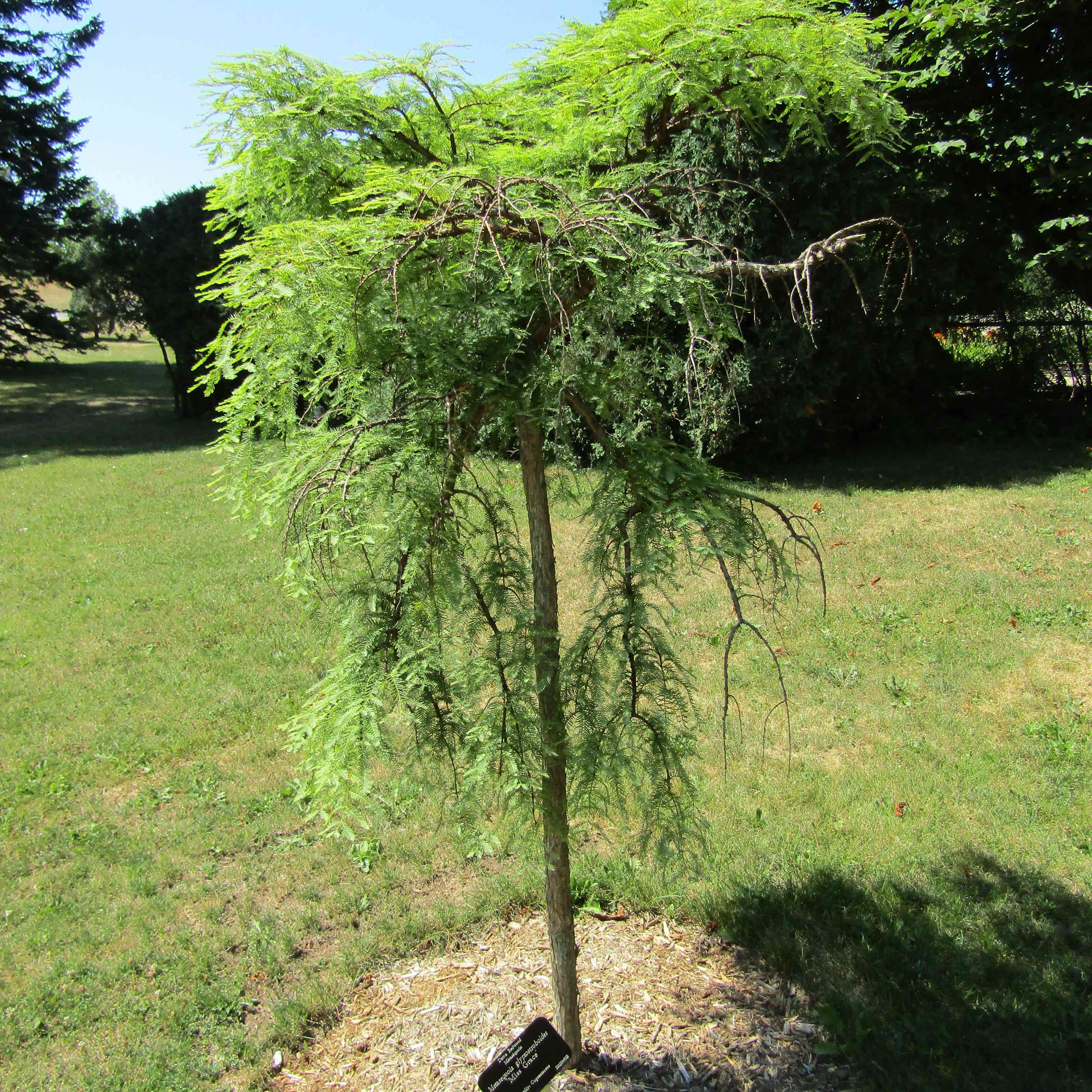 15 Dwarf Trees For Use In Landscaping