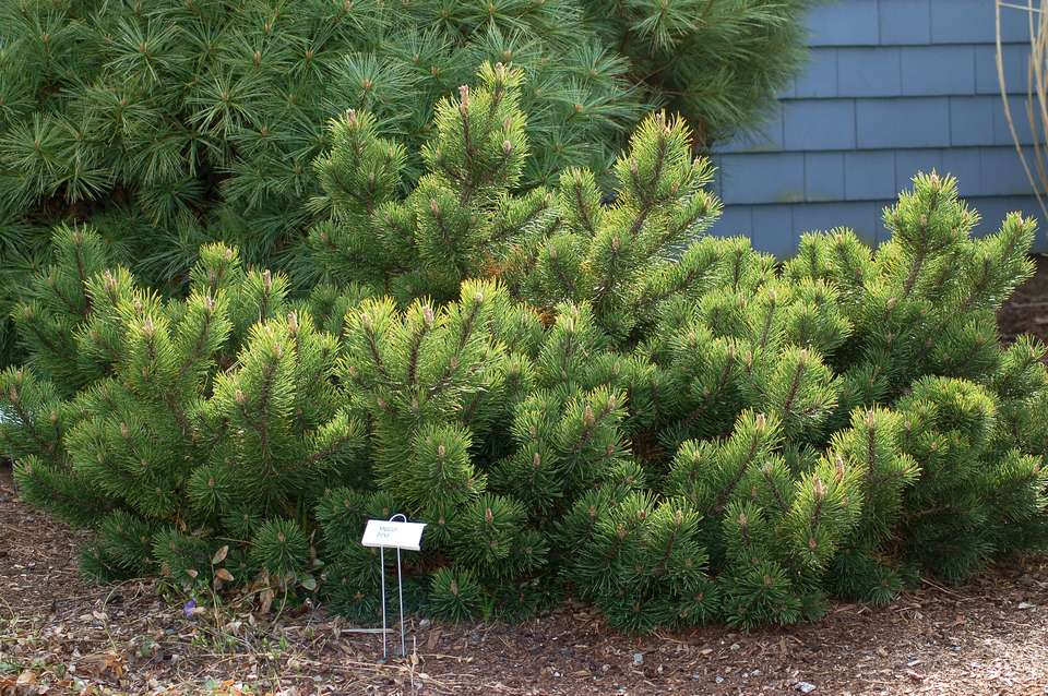 Mugo pine tree in a mulched garden bed.