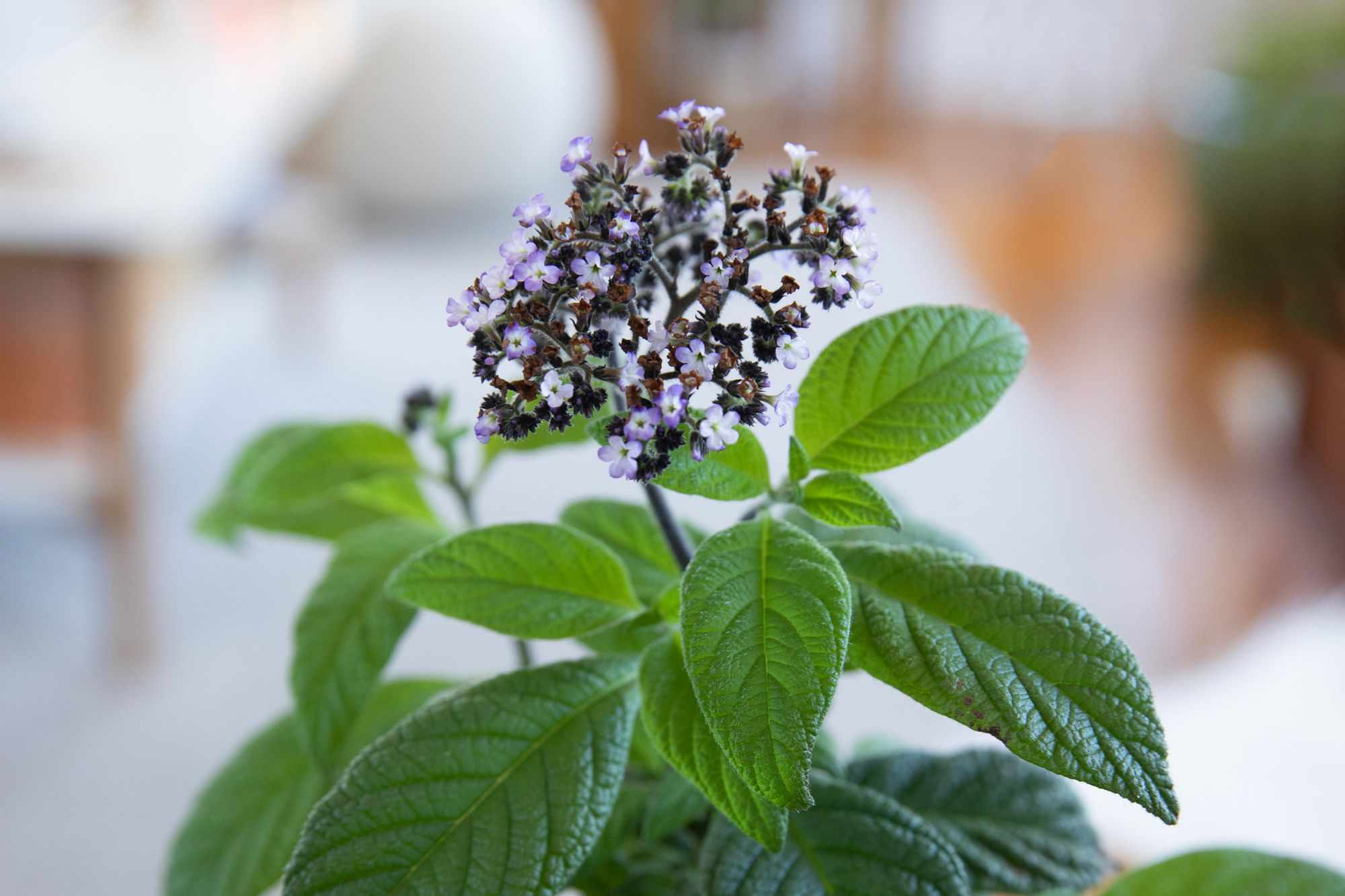Heliotrope plant with small light purple and dark purple flower clusters on top of leaves