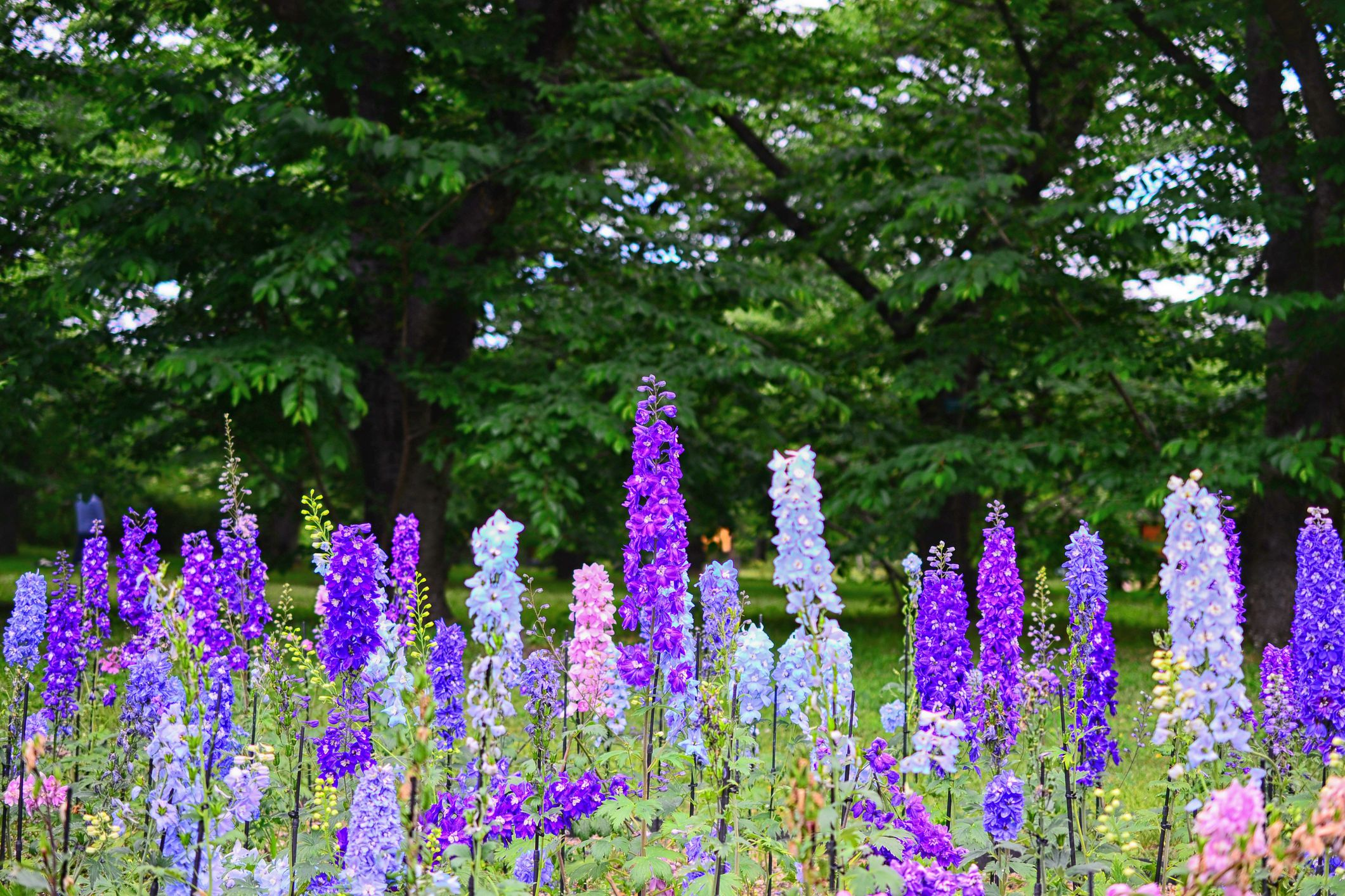 Row of delphiniums in different colors.