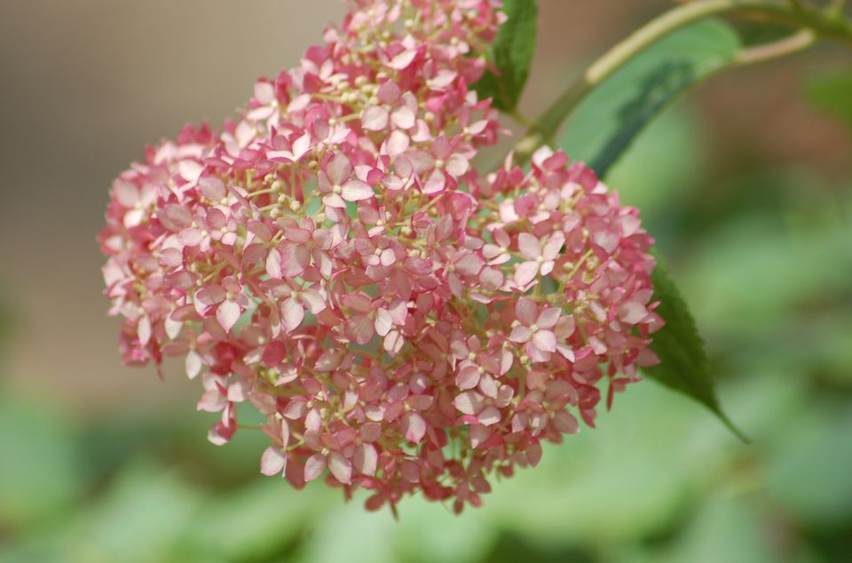 Closeup of flower head of Invincibelle Spirit hydrangea.