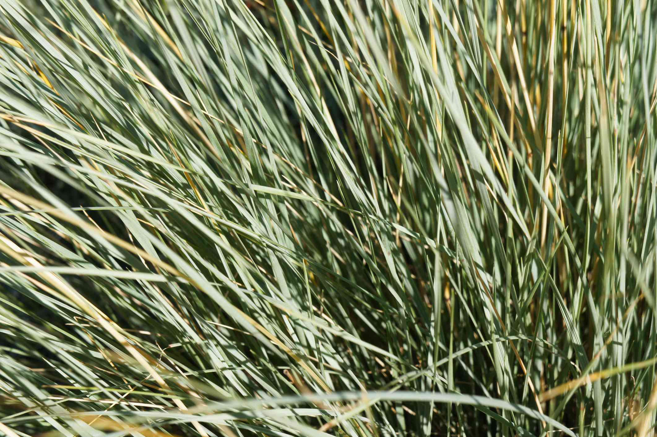Helictotrichon sempervirens sapphire blue oat grass