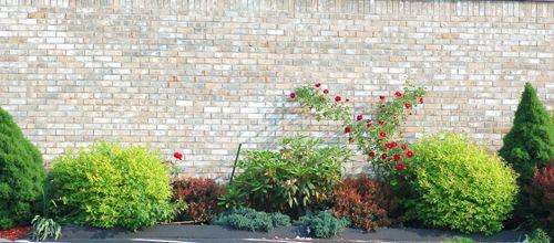Rose bush growing near a house.