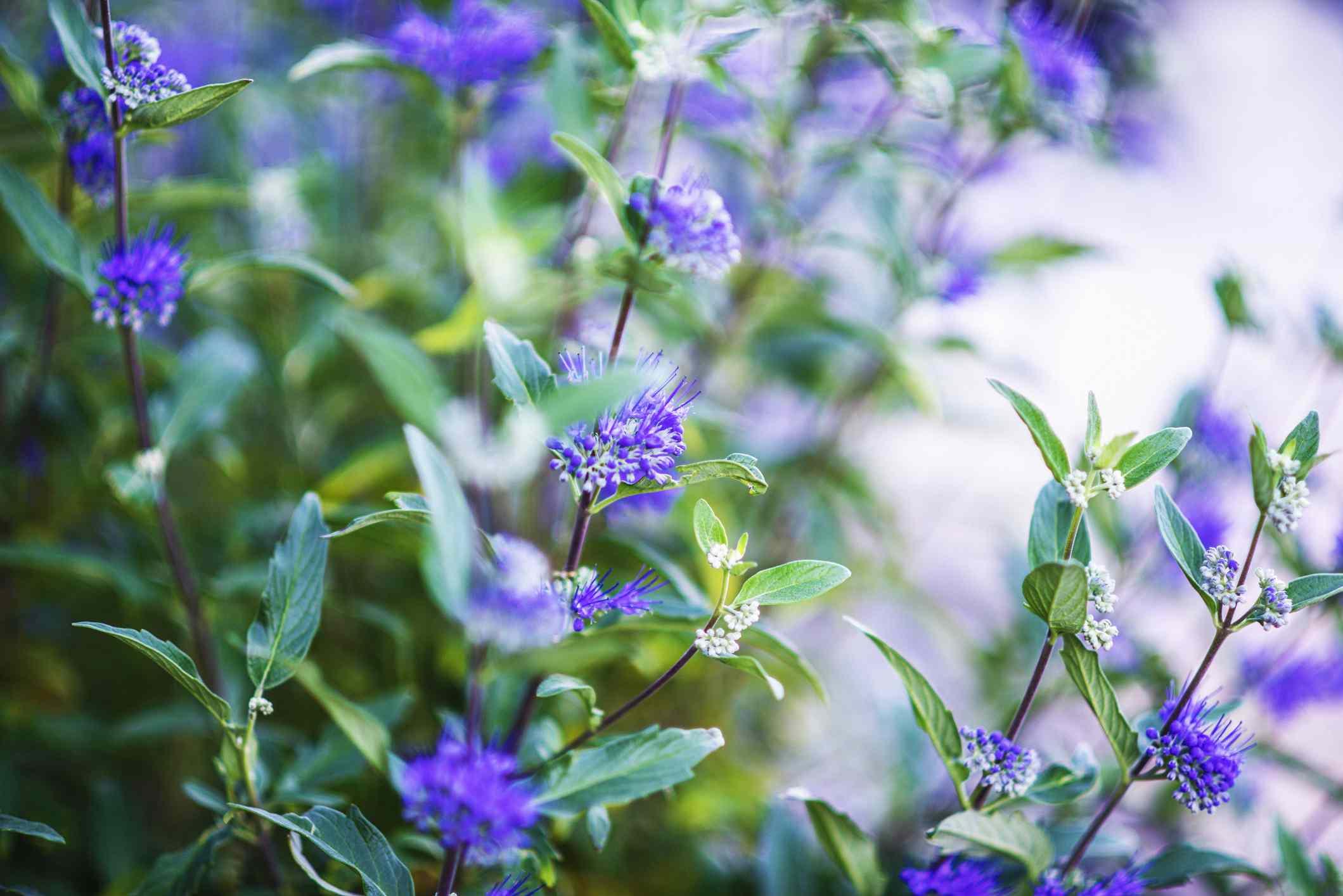 Blue mist spirea growing in abundance. Caryopteris Clandonensis