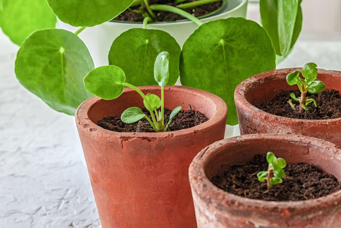 Pilea peperomioides (Chinese money plant) offshoots in terracotta pots with the mother plant behind them.