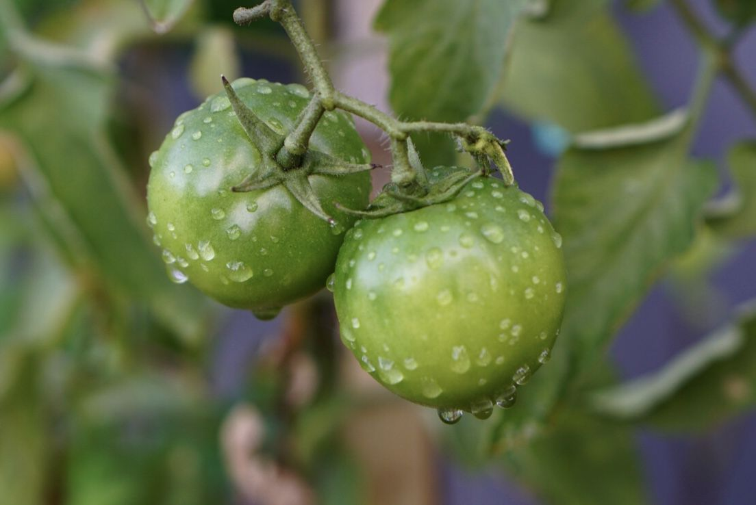 Green cherry tomatoes on vine with water droplets closeup