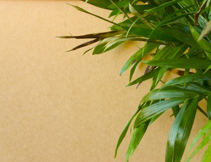 6 common causes for yellow leaves on houseplants. Black Bedroom Furniture Sets. Home Design Ideas
