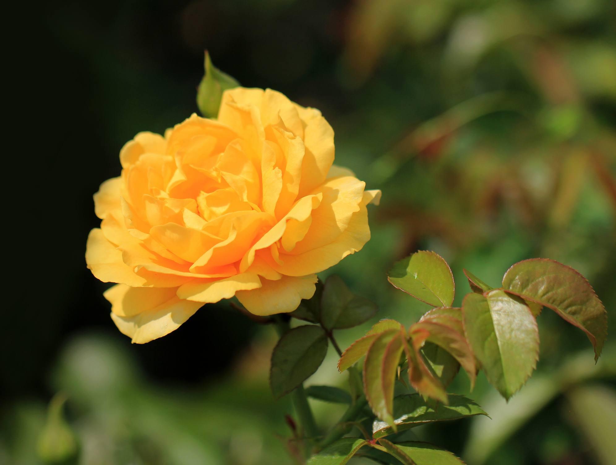'Julia Child' floribunda rose with yellow petals