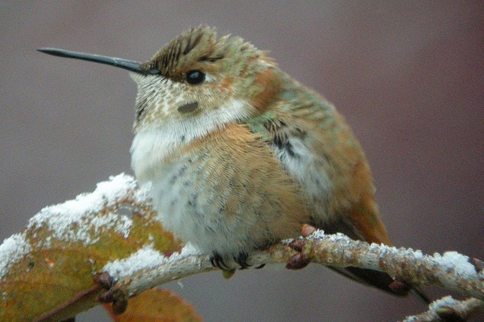 Fall Hummingbird