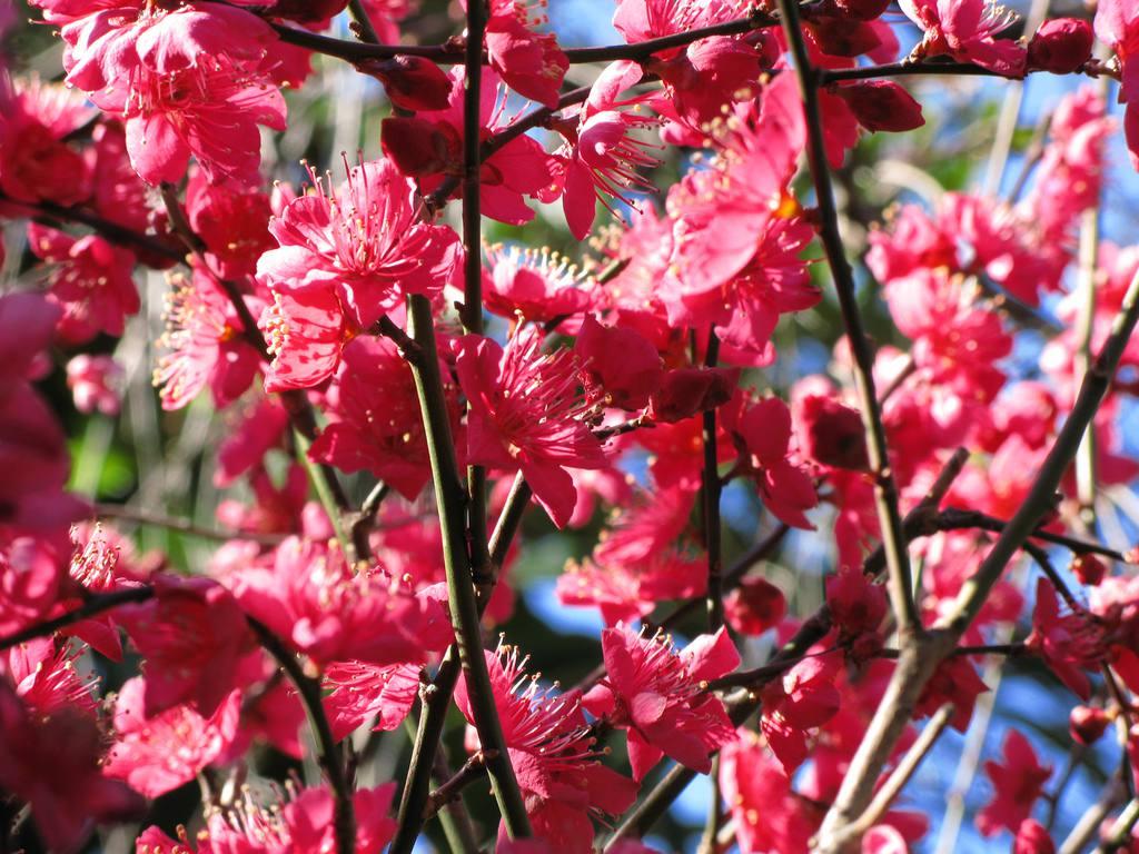 Hojas florecientes de ciruelo chino en un tono rosado. , Fruto de Chokecherry colgando de una rama