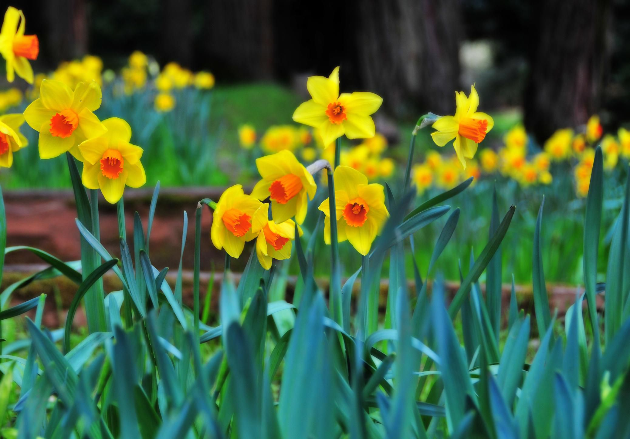 Info On Planting And Growing Daffodils