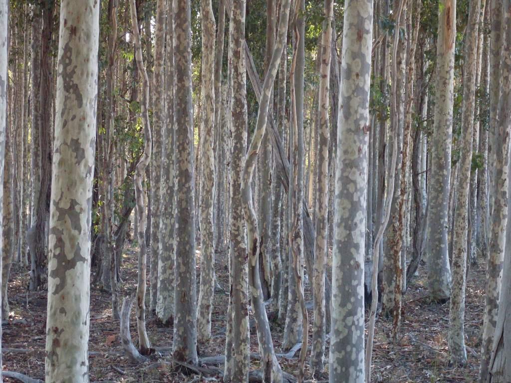 Imagen de los troncos en un bosque de encías manchado