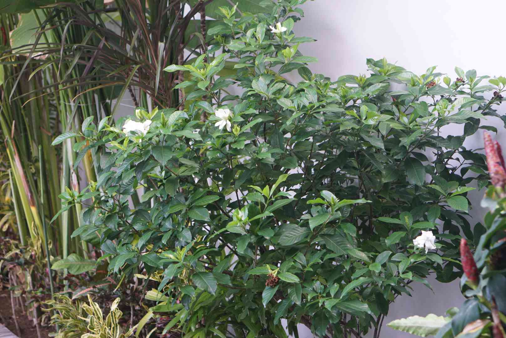 Arabian jasmine shrub with upright branches and small white flowers