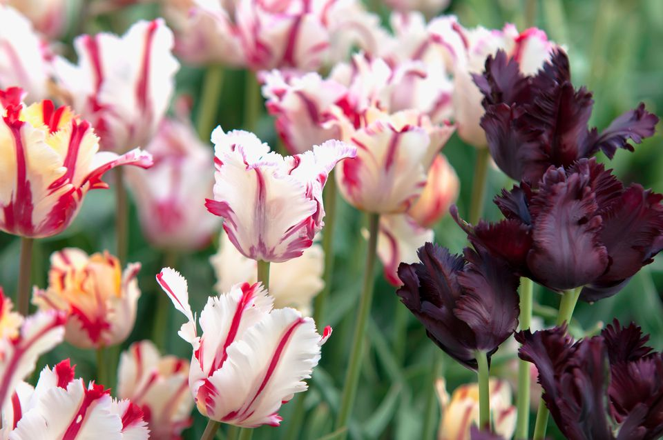 Parrot tulip plants with white and pink flowers and burgundy flowers