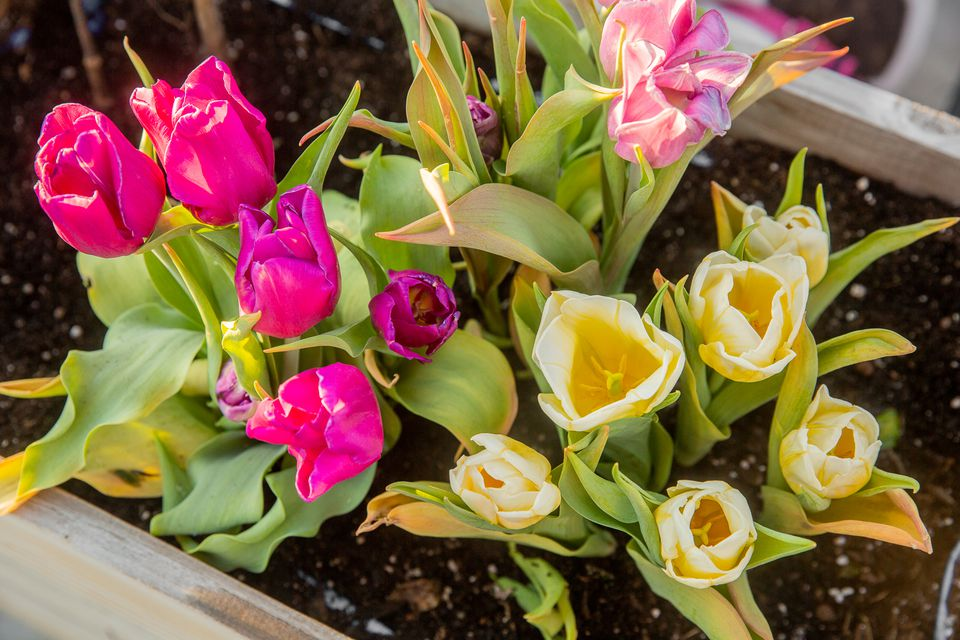 Colorful tulips with cream, pink and fuchsia petals in flower box