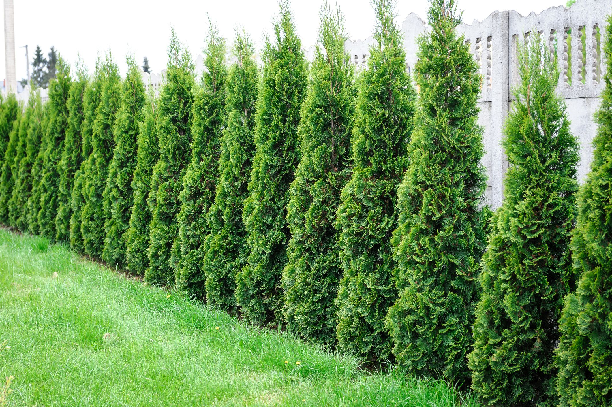 Row of arborvitae in front of a fence.