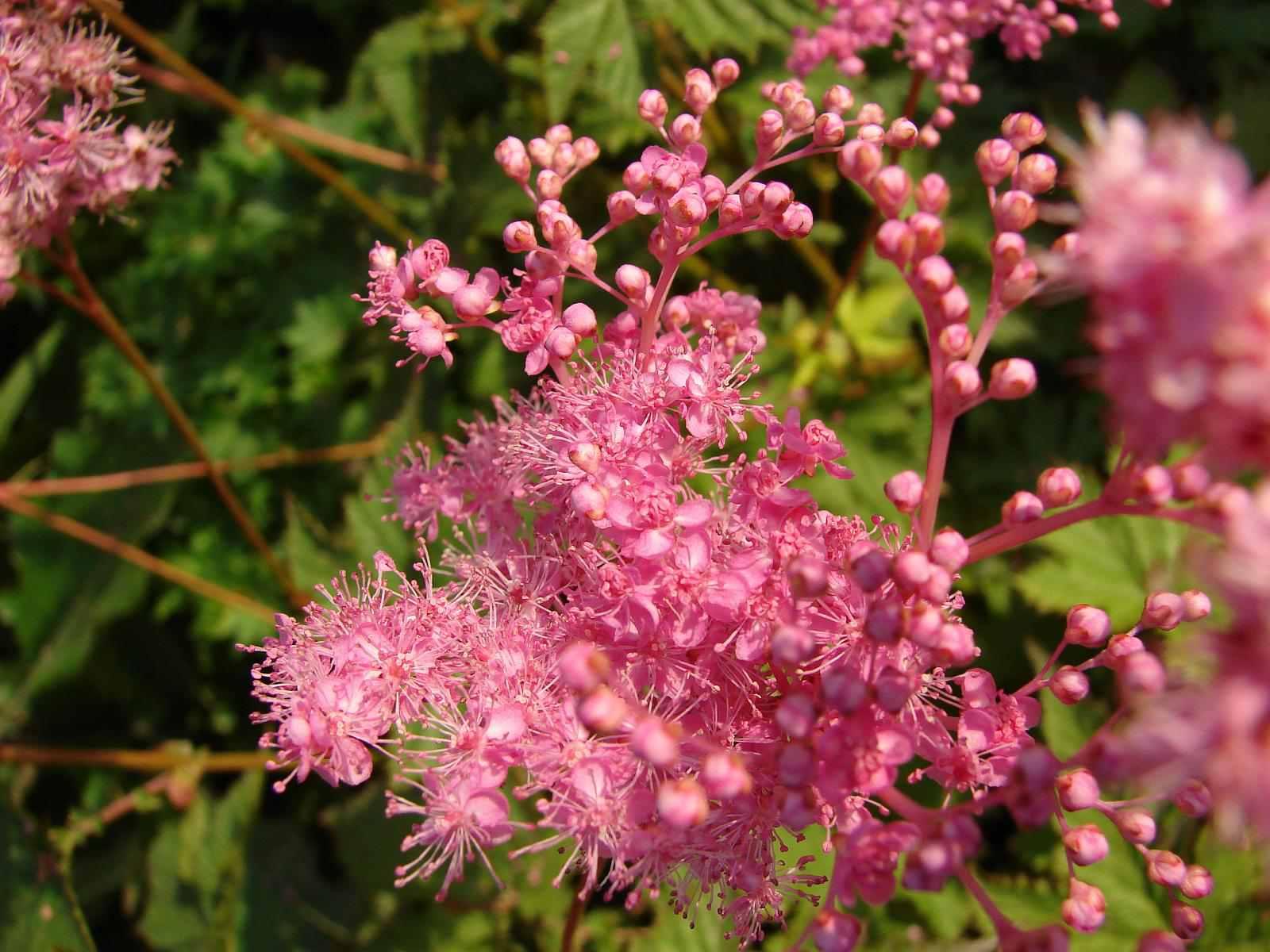 Rosaceae Rosoideae Filipendula rubra Reina de la pradera