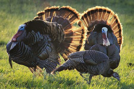 Why We Love Turkeys But Might Not Want Them In The Yard