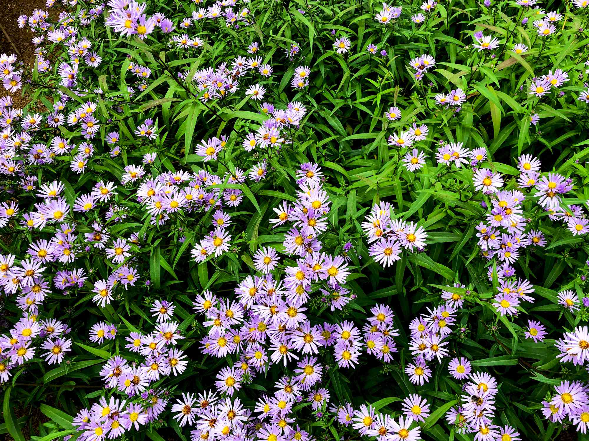 Symphyotrichum novae-angliae flowers in Bloom